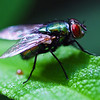 Housefly on Leaf