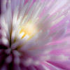 Chrysanthemum Closeup