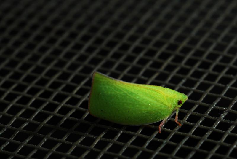Green Leaf Bug