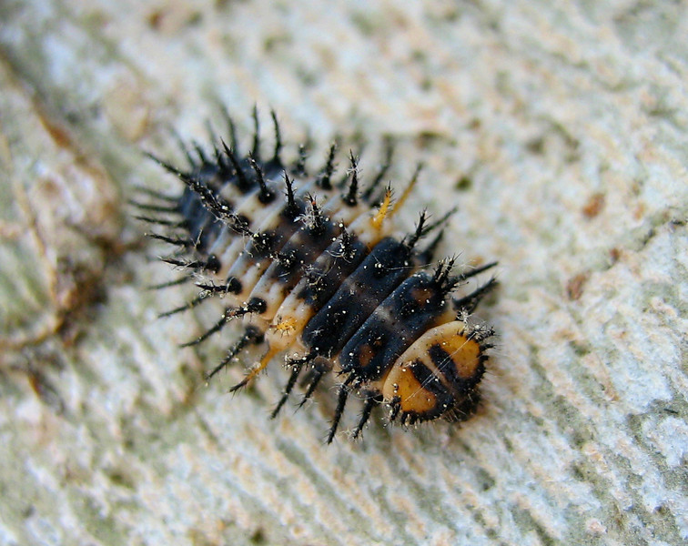 4/24/08<br /> Cool/evil looking caterpillar on a tree at UCLA [edit: looks very similar to ladybug larvae, but not quite... anyone know what it is?]. I think they had just hatched nearby, because there were at least 15 on this tree, but I didn't see them on any other trees. Thank goodness for the SD400's 3 cm focusing distance in macro mode but still, the bug was quite small and I had to crop this image quite a bit.