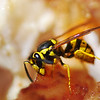 8/7/08<br /> A wasp chowing down on my leftover fried chicken from lunch. Who knew wasps liked greasy food so much? He didn't mind me at all, so I was able to get in real close. The image was very saturated in yellow and red hues, so I brought those down while masking the wasp itself to keep it nice and bright.