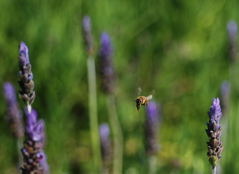 Flying Bee & Lavender