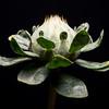 Pre Bloom