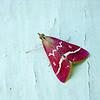 Red Moth