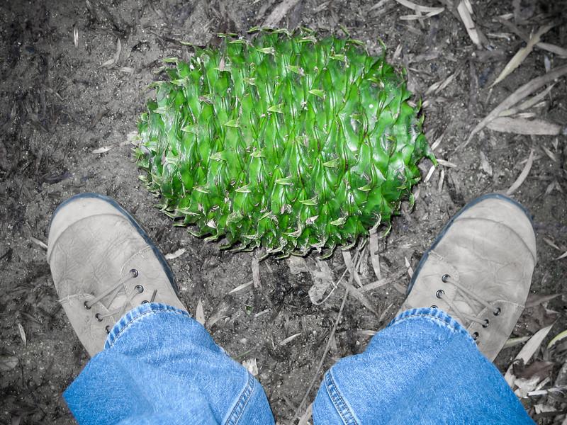 Giant Green Pinecone