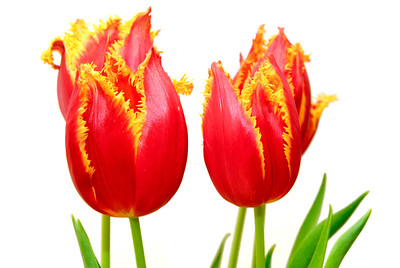 Tulips With An Attitude