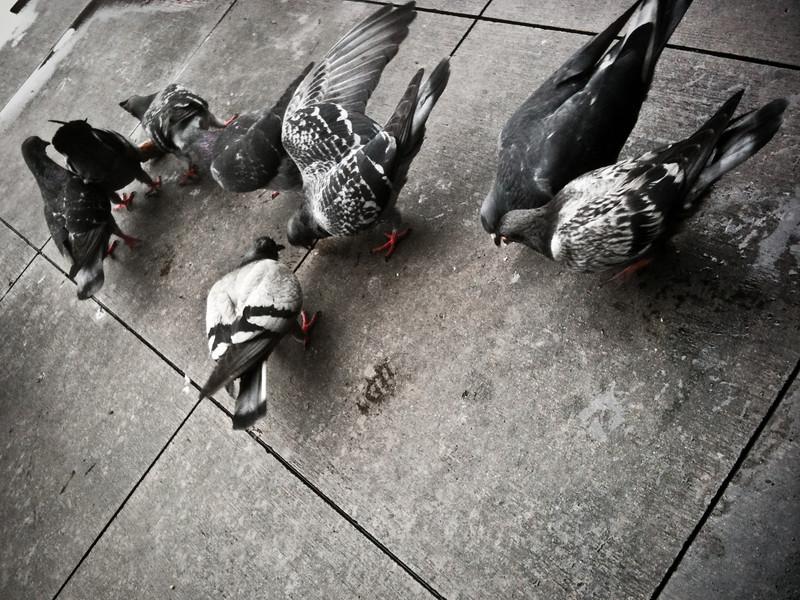 Pigeon Feeding Frenzy
