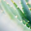 Agave or Aloe?