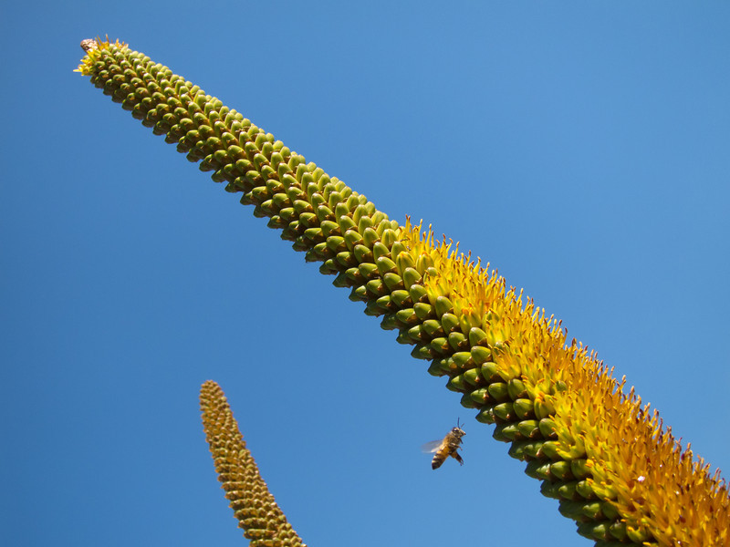 """<span id=""""date"""">__02/22/11__</span> <span id=""""title"""">Agave Flowers</span> Them bees sure do love them some agave flowers this time of year. The last time I posted a photo from the botanical gardens was on <a href=""""http://www.jawsnap.net/Daily/year3/11272102_ACXDJ#1182072599_oe7n6"""">2/8</a>, which was also my last full day of work. Thanks to the <a href=""""http://www.jawsnap.net/Travel/NewOrleans2011/15869305_3pC5e"""">New Orleans trip</a> and being sick all last week, today was my first day back at work in almost 2 weeks. In other botanical garden-related news, the cherry tree is in full bloom! Stay tuned for an amazing bee-on-cherry-blossom photo that has become a yearly tradition.  <a href=""""http://www.jawsnap.net/Daily/year2/7157835_BfJPF#795073259_G2BtQ"""">[last year]</a> <em>one of my favorites...</em>"""