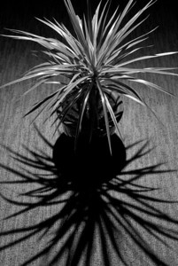 __01/23/11__ Plant Shadow This is our house's newest plant, a 'bicolor' (Dracaena marginata).  I set the camera on a tripod a few feet away from the plant and pointed down at it. I took the shot by using the self-timer and walking around with my off-camera flash and pointed it down at the plant from behind. Getting the entire plant in the frame would have been nice, but the rug wasn't big enough, and I wanted a consistent background.  [last year] we almost never go to this store, but we were there again today, weird...