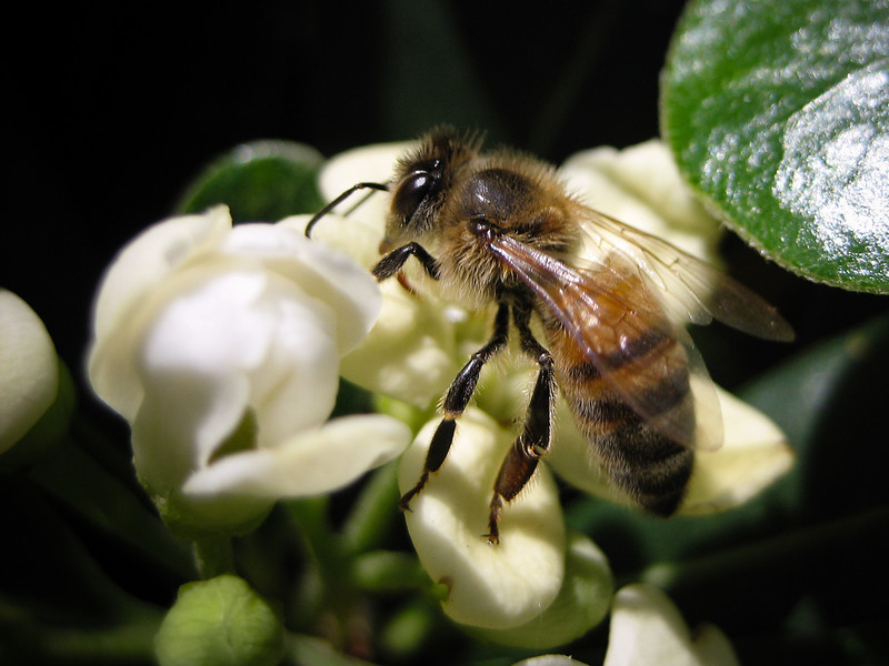 """<span id=""""date"""">_04/21/10_</span> <span id=""""title"""">Bee on Flower</span> Yeah, so I've done bee-on-flower photos before, but this one is all about the smell. The bee is checking out a mock orange tree (<em>Pittosporum tobira</em>, native to China and Japan). It smells wonderful! I walked by and was hit with this delicious orange blossom smell and decided I would have to take a photo of it. This bee just happened to land on it :)  <a href=""""http://www.jawsnap.net/gallery/7157835_BfJPF#518156112_AKJqd"""">[last year]</a>"""
