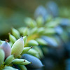 """<span id=""""date"""">__02/07/11__</span> <span id=""""title"""">Chinese Hollygrape</span> <em>Mahonia lomariifolia</em> This plant caught my eye last Friday when I only had my compact. Because the plant was in the shade, I just couldn't get a decent shutter speed to get a sharp exposure, so today I brought my SLR. I had trouble capturing what I wanted, but I do like this shot. What caught my eye were the soft blue and green colors on the 'grapes' or whatever they are. The plant leaves look like holly (hence the name) and they're very sharp. I got poked a lot for this photo.  <a href=""""http://www.jawsnap.net/Daily/year2/7157835_BfJPF#783514969_CcZ7t"""">[last year]</a>"""