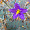 "<span id=""date"">__01/18/11__</span> <span id=""title"">Devil's Thorn</span> I'm not sure this photo does the plant justice, but here you go. The Devil's Thorn (<em>Solanum pyracanthum</em>) is awesome - the leaves have bright orange thorns sticking out every direction, I've never seen anything like it. I suppose that's what I should expect from a plant from Madagascar.   <a href=""http://www.jawsnap.net/Daily/year2/7157835_BfJPF#767944440_zKdTk"">[last year]</a>"