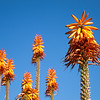 "<span id=""date"">__01/27/11__</span> <span id=""title"">Orange Burst</span> These Dr. Seuss-ish flowers are part of an agave plant in the botanical gardens, growing right across from the agave plant that was last year's daily photo. Obviously the bright orange color was eye-catching, but I really liked being able to isolate the flowers against a pure blue sky. Yeah, we're having pretty awesome weather here. The bees were all over these flowers, but for some reason they were camera shy.  <a href=""http://www.jawsnap.net/Daily/year2/7157835_BfJPF#775021404_ewZrD"">[last year]</a>"