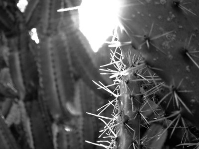 __02/04/11__ Backlit Spines Some prickly pear in the botanical gardens, some other cactus in the background. I found some other really great subjects today, but I was unhappy with how the S95 photos came out. I'm hoping to take my SLR and macro lens to work next week so I can try again.  [last year]
