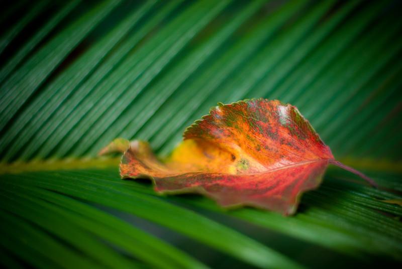 """<span id=""""date"""">_08/18/10_</span> <span id=""""title"""">Red Leaf</span> A leaf, resting on a cycad plant.  <a href=""""http://www.jawsnap.net/Daily/year2/7157835_BfJPF#623929542_a3qFr"""">[last year]</a> <em>happy 1 year anniversary, condo...</em>"""