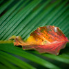 "<span id=""date"">_08/18/10_</span> <span id=""title"">Red Leaf</span> A leaf, resting on a cycad plant.  <a href=""http://www.jawsnap.net/Daily/year2/7157835_BfJPF#623929542_a3qFr"">[last year]</a> <em>happy 1 year anniversary, condo...</em>"