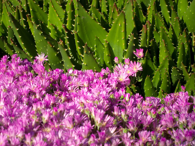 Prickly and Pink