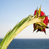 "<span id=""date"">_03/27/11_</span> <span id=""title"">Agave Overlook</span> While walking along the bluffs in Santa Monica this afternoon, we came across this awesome agave flower stalk that explodes in red flowers. I walked around it a bit and settled on this as the most interesting angle, mostly because I could isolate it against the ocean and sky. Everywhere else there were buildings or trees that would have been in the shot. Because of the harsh sun, I had to use fill-flash to bring up the shadows - otherwise they were all black.   <a href=""http://www.jawsnap.net/Daily/year3/11272102_ACXDJ#821004700_dktHR"">[last year]</a>"