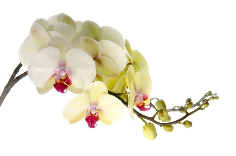 Orchid Wave