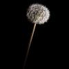 Solitary Dandelion