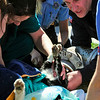 CAT<br /> Mark Evans, right, with Boulder Fire and Rescue, tries to maneuver the head of a cat that has its head stuck in a pipe, with the help of veterinary technician Grace Worland, left, and county animal control officer Brandy Perkins, center. <br /> Photo by Marty Caivano/March 23, 2011