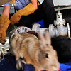 CAT<br /> A rabbit bolts from the back of the animal contol vehicle, past the cat whose head got stuck in a pipe while chasing the rabbit.<br /> Photo by Marty Caivano/March 23, 2011
