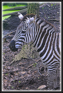 "Fotoeffects Alphabet Challenge ~ ""Z"" is for Zebra"