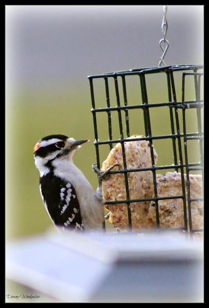 Downy Woodpecker ~ Male