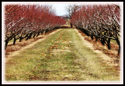 Winter Orchards