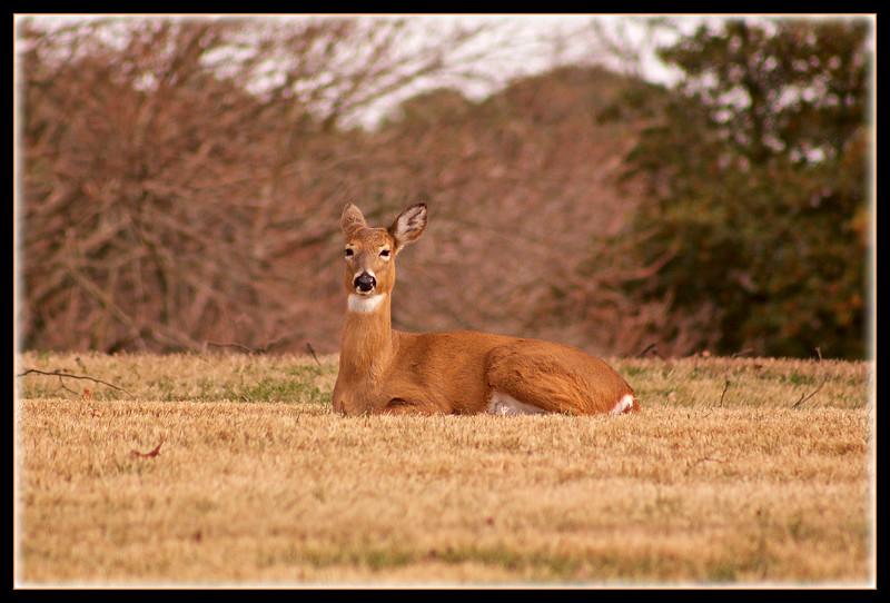 Naval Base White Tail Deer