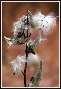 Cottonweed
