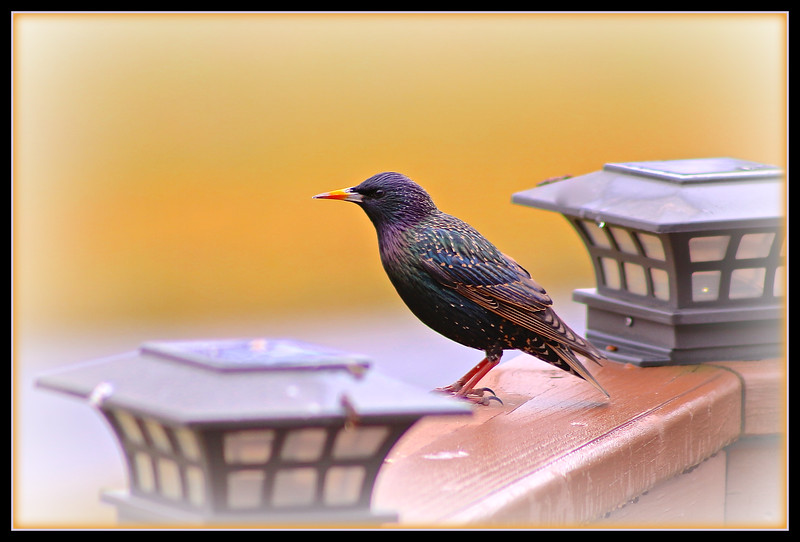 European Starling - Breeding Adult
