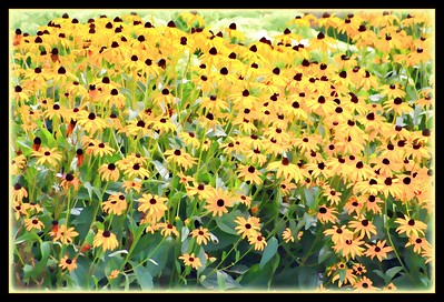 August 2, 2015  Love these Black Eyed Susan's, they seemed to be everywhere yesterday.