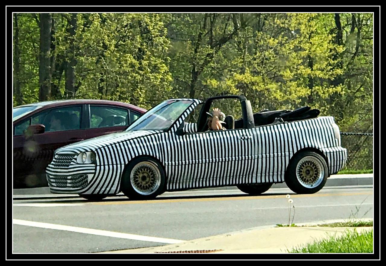 Zebra on the loose