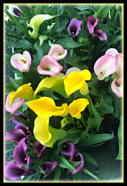 Calla Lilly's