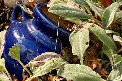 (Nov 28) I missed posting for a day or two. This was taken on a 15 minute walk at lunch yesterday in Yardley, PA  where I work.  Lots of old houses looked interesting to photograph, but in the end this blue pitcher caught my eye and  turned out to be my choice for my shot of the day.A little treasure in the garden!