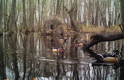 Male Wood Ducks, chilling out in front of my blind on a beautiful foggy morning.