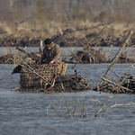 Trying to hide in plain sight. Filming waterfowl.