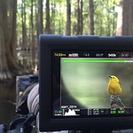 My friend for the day, a Prothonotary Warbler.