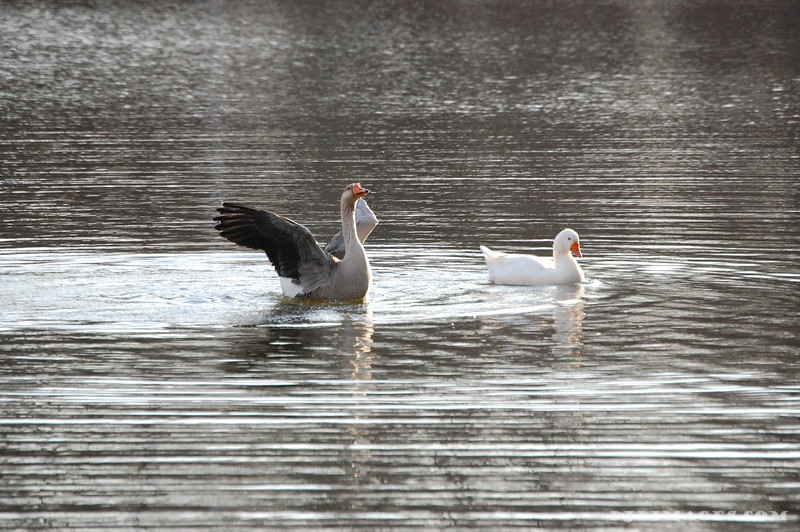 Flapping Ducks 3