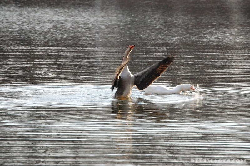 Flapping Ducks 2