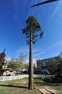 A 100-foot white fur Christmas tree was put in to place at the Americana at Brand shopping center Wednesday, October 27, 2010. When finished the tree will have 10,000 lights and 15,000 ornaments and will debut at the holiday Christmas show at the center on November 18. (Hans Gutknecht/Staff Photographer)