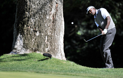 Vijay Singh chips out from behind a tree on #12. Aaron Baddeley won the Northern Trust Open at Riviera Country Club in Pacific Palisades, CA. 2-20-2011. (John McCoy/staff photographer)