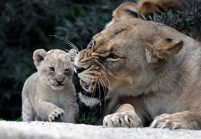 SWITZERLAND ZOO BASEL YOUNG LIONS