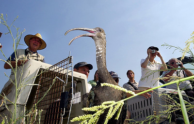 Ibis Release