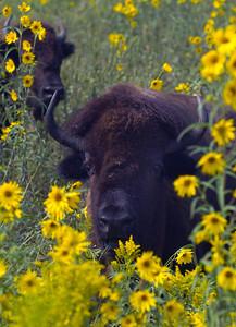 Buffalo flowers