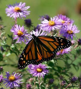 APTOPIX Monarch Butterfly