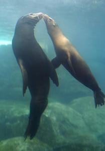 Blind Sea Lion