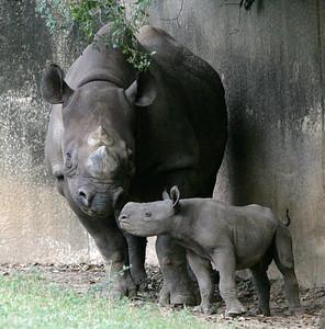 Black Rhinoceros Calf